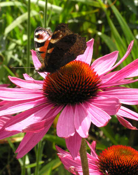 Echinacea Rubinstern with Peacock Butterfly