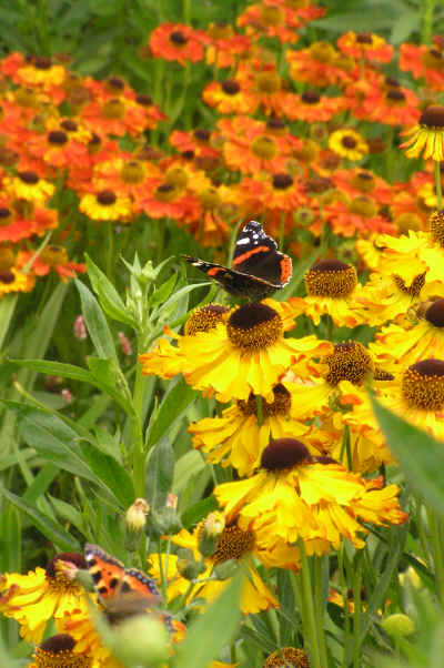 Helenium Fata Morgana with Red Admiral Butterfly (foreground) and Helenium Kupfersprudel (background)