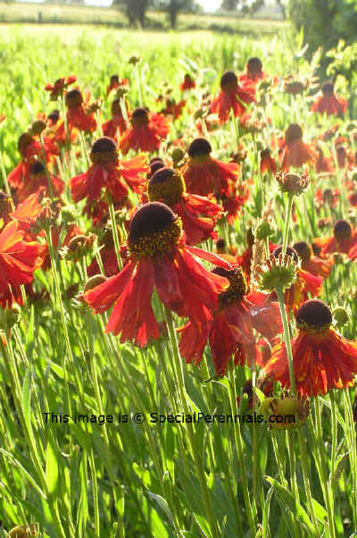 Helenium Moerheim Beauty 4th July © 2009 SpecialPerennials.com all rights reserved