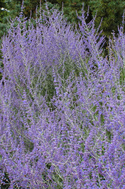 Russian Sage or Perovskia in a large drift in flower